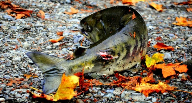 Although he sustained serious injuries, the salmon did eventually carry the match.