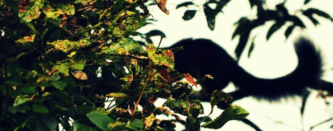 A Malabar Giant Squirrel. Periyar National Park, Kerala, India (2011).